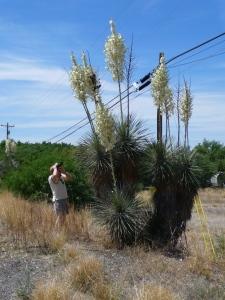 Soaptree Yucca and Dana, near Benson, Arizona