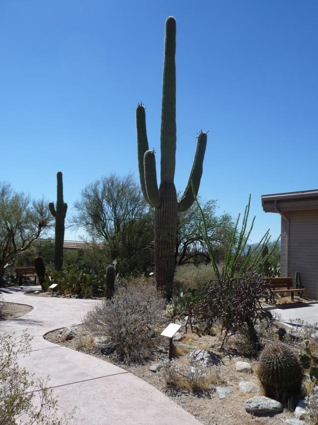 Giant Saguaro