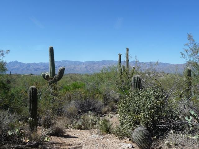 Giant Saguaros