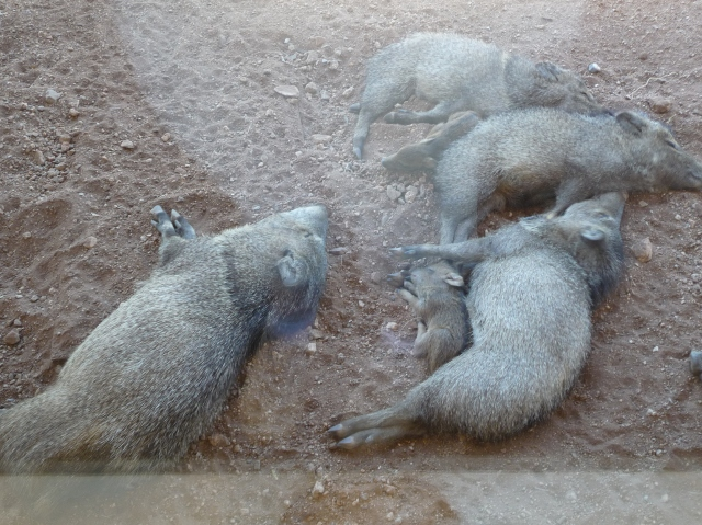 Javalinas with 2 babies, in the shade of the visitor center