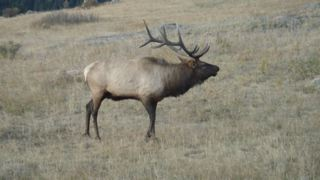 Bull Elk Bugling, Rocky Mountain National Park - photo by Larry Turner